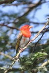 Weaver, Red-headed (Male)