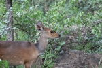 Bushbuck, Female